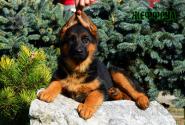 21_Puppies_Uragan_Yuventa_ZHEFFRUA