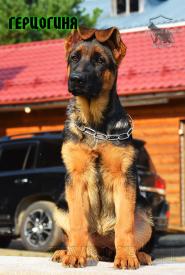 35_Puppies_Fogart_iTroya_GERCZOGINYA