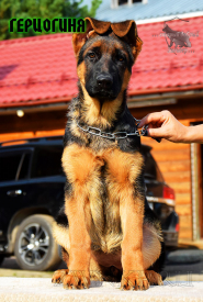 36_Puppies_Fogart_iTroya_GERCZOGINYA