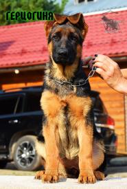 37_Puppies_Fogart_iTroya_GERCZOGINYA