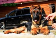 38_Puppies_Fogart_iTroya_GERCZOGINYA