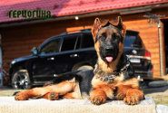 39_Puppies_Fogart_iTroya_GERCZOGINYA
