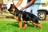 40_Puppies_Fogart_iTroya_GERCZOGINYA