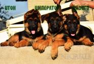 07_Puppies_Tamerlan_Elisabet_IMPERATOR_ITON_INDIGO