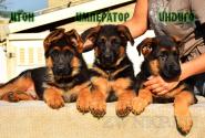 08_Puppies_Tamerlan_Elisabet_IMPERATOR_ITON_INDIGO