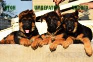 09_Puppies_Tamerlan_Elisabet_IMPERATOR_ITON_INDIGO