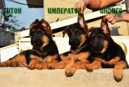 11_Puppies_Tamerlan_Elisabet_IMPERATOR_ITON_INDIGO