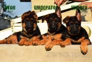 12_Puppies_Tamerlan_Elisabet_IMPERATOR_ITON_INDIGO
