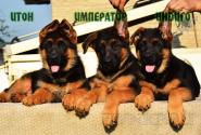 14_Puppies_Tamerlan_Elisabet_IMPERATOR_ITON_INDIGO