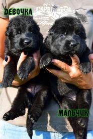 09_Puppies_Uragan_Nikita_GIRL_BOY_BL