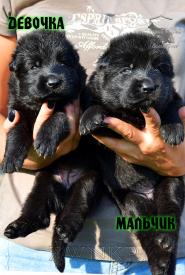 10_Puppies_Uragan_Nikita_GIRL_BOY_BL