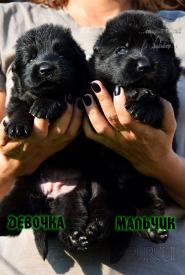 11_Puppies_Uragan_Nikita_GIRL_BOY_BL