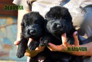 12_Puppies_Uragan_Nikita_GIRL_BOY_BL