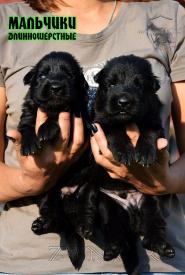 13_Puppies_Uragan_Nikita_BOY_BL_LH