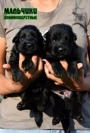 14_Puppies_Uragan_Nikita_BOY_BL_LH
