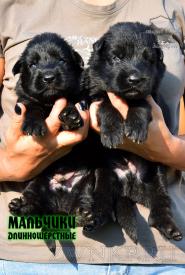 15_Puppies_Uragan_Nikita_BOY_BL_LH