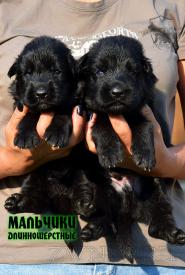 16_Puppies_Uragan_Nikita_BOY_BL_LH