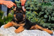 29_Puppies_Uragan_Nikita_GIRL