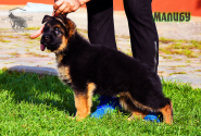 30_Puppies_Uragan_Nikita_GIRL