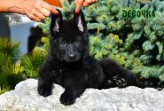 31_Puppies_Uragan_Nikita_GIRL_BL
