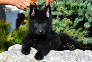32_Puppies_Uragan_Nikita_GIRL_BL