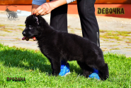33_Puppies_Uragan_Nikita_GIRL_BL
