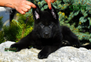 34_Puppies_Uragan_Nikita_BOY_BL