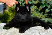 35_Puppies_Uragan_Nikita_BOY_BL