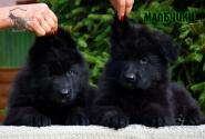 09_Puppies_Parad_Zambiya_BOYS_BL