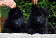 10_Puppies_Parad_Zambiya_BOYS_BL