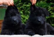 11_Puppies_Parad_Zambiya_BOYS_BL