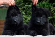 12_Puppies_Parad_Zambiya_BOYS_BL