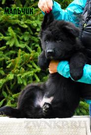 13_Puppies_Parad_Zambiya_BOY_BL
