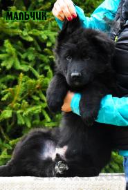 14_Puppies_Parad_Zambiya_BOY_BL