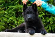16_Puppies_Parad_Zambiya_BOY_BL