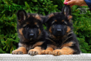 01_Puppies_Parad_Fortuna_GIRLS