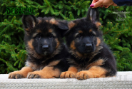 02_Puppies_Parad_Fortuna_GIRLS