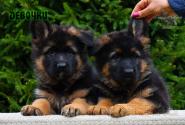 03_Puppies_Parad_Fortuna_GIRLS
