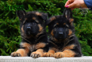 04_Puppies_Parad_Fortuna_GIRLS