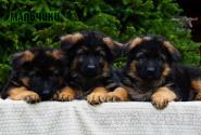 05_Puppies_Parad_Fortuna_BOYS