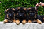 06_Puppies_Parad_Fortuna_BOYS