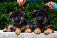 26_Puppies_Uragan_Lanesta_GIRL_BOY