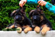 27_Puppies_Uragan_Lanesta_GIRL_BOY_LH