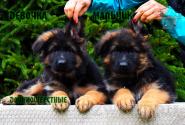 28_Puppies_Uragan_Lanesta_GIRL_BOY_LH