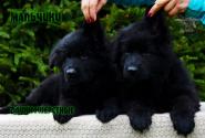 29_Puppies_Uragan_Lanesta_BOYS_BL_LH