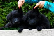 30_Puppies_Uragan_Lanesta_BOYS_BL_LH
