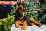 31_Puppies_Uragan_Lanesta_BOY