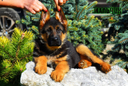 32_Puppies_Uragan_Lanesta_BOY