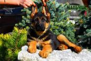 33_Puppies_Uragan_Lanesta_BOY