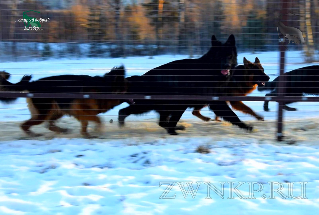 "German Shepherd Breeding Kennel ""Team Zilber Wasserfall"" - December 14-25, 2020"